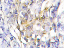 Immunohistochemistry (Formalin/PFA-fixed paraffin-embedded sections)